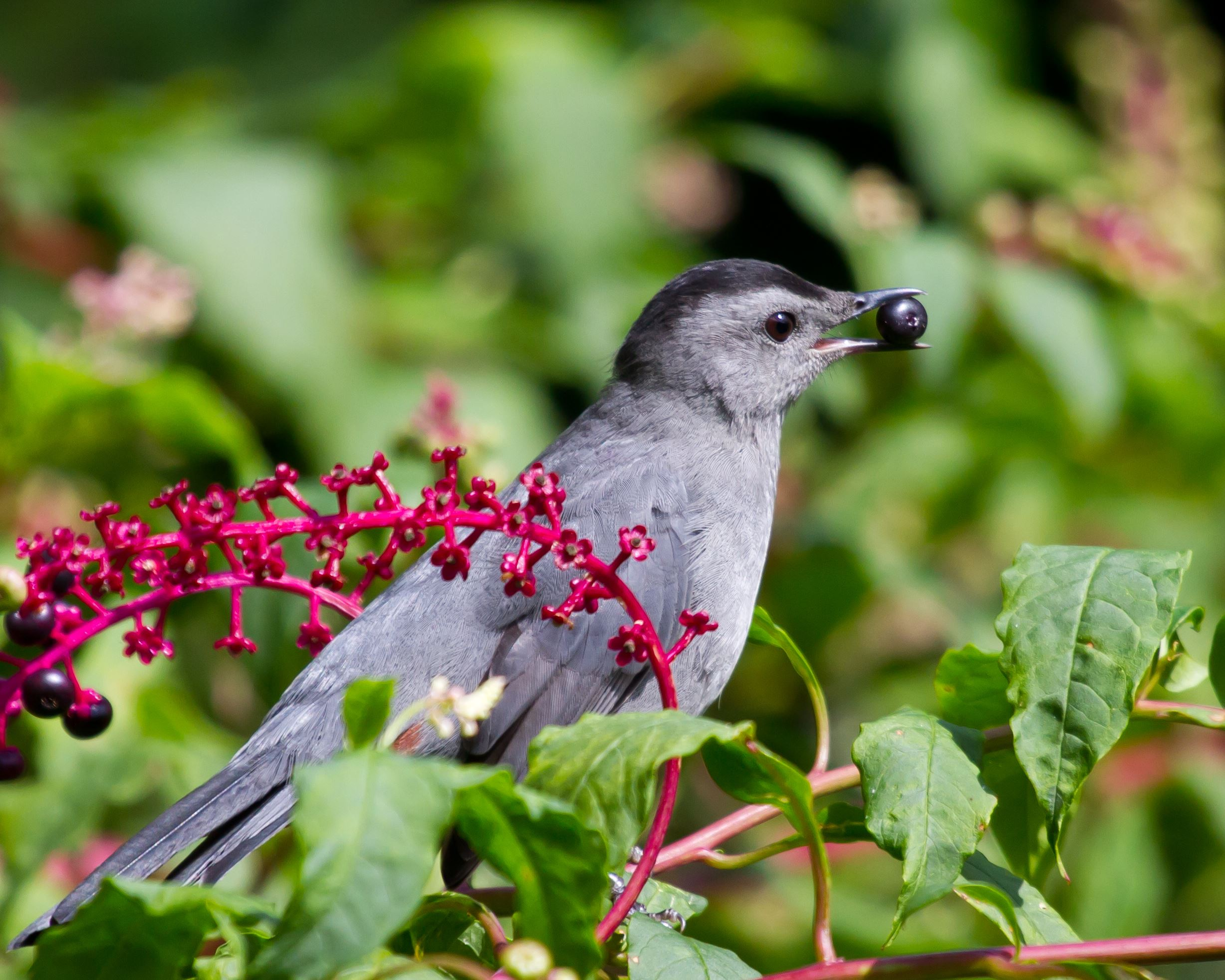 Gray Catbird on branch eating berry